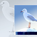 Australian Wildlife - Silver Gull by Holly Kempe