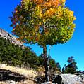 Autumn Aspen by Shane Bechler