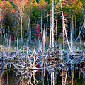 Autumn At Moosehead Bog by Brent L Ander