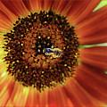 Autumn Beauty Sunflower by Sari Sauls