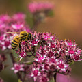 Autumn Bee On Flowers by Yeates Photography