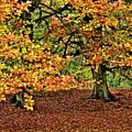 Autumn Beech Trees by Martyn Arnold