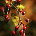 Autumn Berries by Linda Shafer