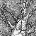 Autumn Birch by Denis Chernov