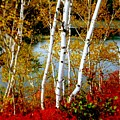 Autumn Birch Lake View by Patricia L Davidson