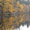 Autumn Birches On The Shore Of Lake by Michal Boubin