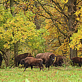 Autumn Bison by Bonfire Photography