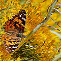 Autumn Butterfly by AJ Schibig