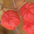 Autumn Chinese Lantern by Jeff Folger