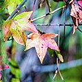 Autumn Color Changing Leaves On A Tree Branch by Alex Grichenko