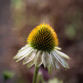 Autumn Coneflower by Guy Whiteley
