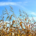 Autumn Corn by Sandra Cunningham