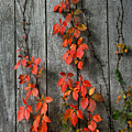 Autumn Creepers by William Selander