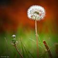 Autumn Dandelion by Matt Taylor
