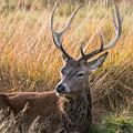 Autumn Deer by Matt Malloy
