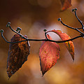 Autumn Dogwood 20121020_11 by Tina Hopkins