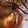 Autumn Dogwood 20121020_13 by Tina Hopkins