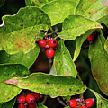 Autumn Dogwood Berries by Bellesouth Studio