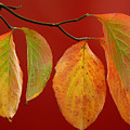 Autumn Dogwood Leaves On Red by Anna Lisa Yoder