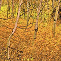 Autumn Foliage Lc by Modified Image