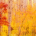 Autumn Forest Wbirch Trees Canada by Panoramic Images