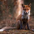 Autumn Fox by Ossi Saarinen
