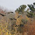 Autumn Geese by Deborah Benoit