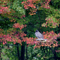 Autumn Hawk Square by Bill Wakeley