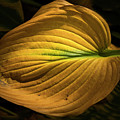 Autumn Hosta by Tom Singleton