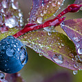 autumn Huckleberry berry and leaves macro in autumn by Ed Book