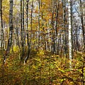 Autumn In The Birches Forest by Amalia Suruceanu