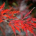 Autumn Japanese Maple by Debbie Portwood