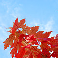 Autumn Landscape Fall Leaves Blue Sky White Clouds Baslee by Baslee Troutman