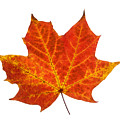Autumn Leaf 3 by Gill Billington