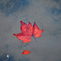 Autumn Leaf by Bill Cannon