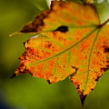 Autumn Leaf by Jim DeLillo