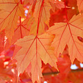Autumn Leaves Art Prints Orange Fall Leaves Baslee Troutman by Baslee Troutman
