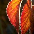 Autumn Leaves by Olja Simovic