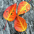 Autumn Leaves On Tree Bark by Vishwanath Bhat