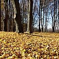 Autumn Maple Forest - Massachusetts Usa by Erin Paul Donovan