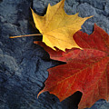 Autumn Maple Leaf Pair On Moody Rock by Anna Lisa Yoder