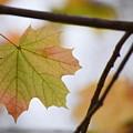 Autumn Maple Leaves Horizontal by Rowena Throckmorton