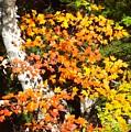 Autumn Maple by Barbara Von Pagel