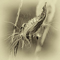 Autumn Milkweed 7 - Sepia by Steve Harrington