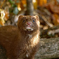 Autumn Mink by James Peterson