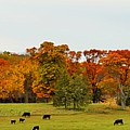 Autumn Minnesota Black Angus Cattle by Kimberly Benedict
