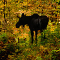Autumn Moose by Brent L Ander