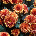 Autumn Mums - A Group Portrait by Lucyna A M Green