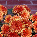 Autumn Mums - Against Brick by Lucyna A M Green