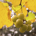 Autumn Muscadine Grapes On The Vine by MM Anderson